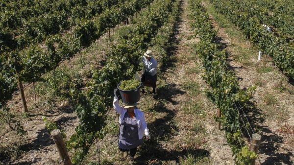 Local Women Harvesting (photo: CVR Tejo)