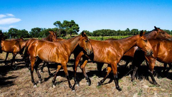 Lusitano Horses (photo: CVR Tejo)